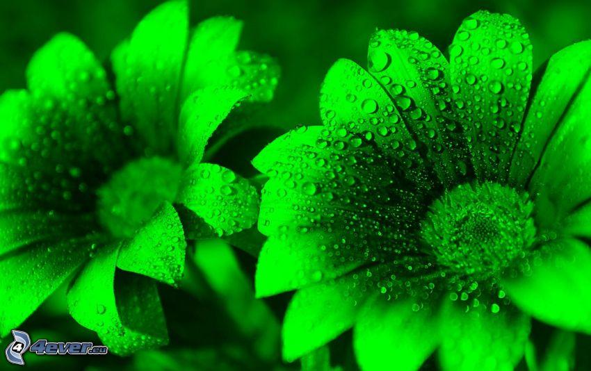 zielone kwiaty, zroszony kwiat