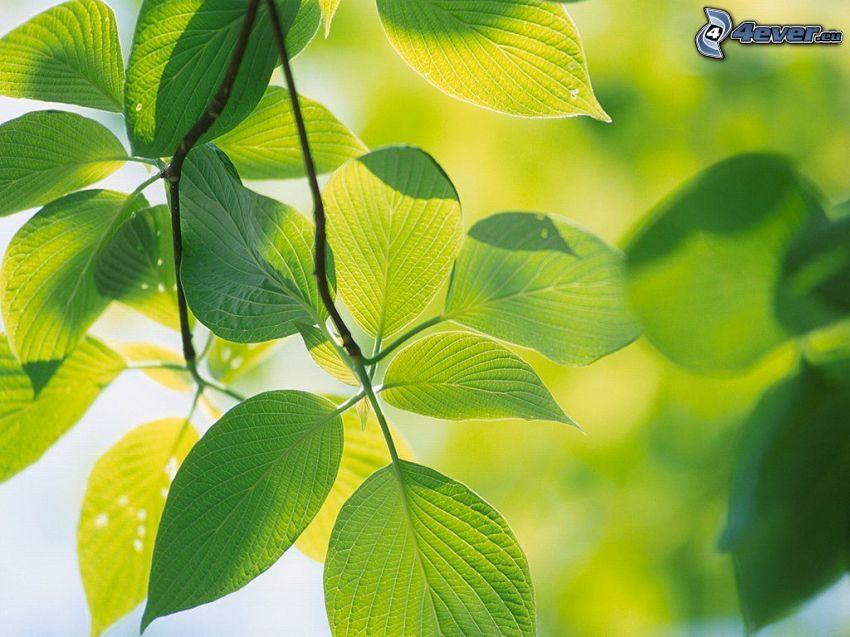 zielone liście na gałęzi