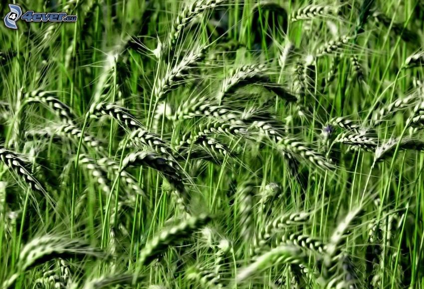 zielone zboże, pszenica