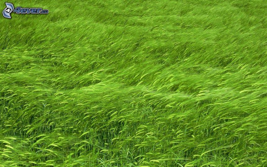 zielone zboże
