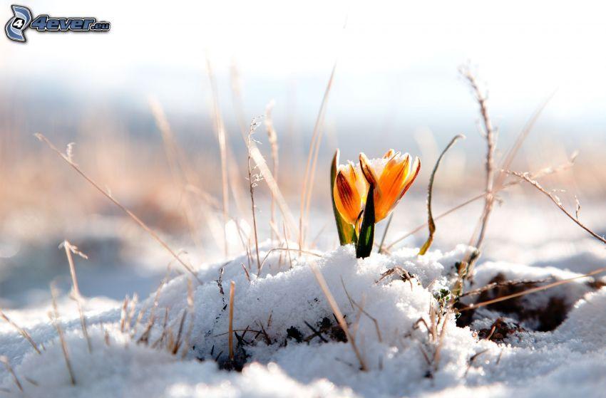 zima, pomarańczowy kwiat, śnieg