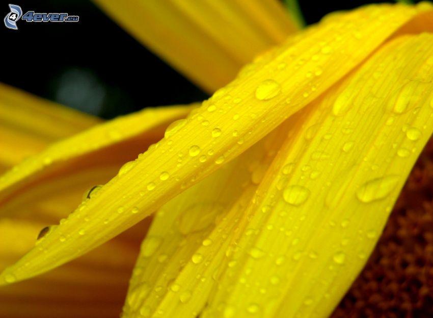 żółte płatki, krople wody, zroszony kwiat