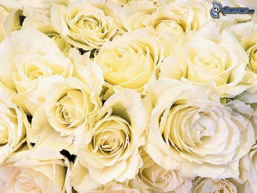 żółte róże, kwiaty