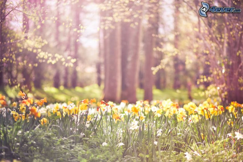 żonkile, żółte kwiaty, las
