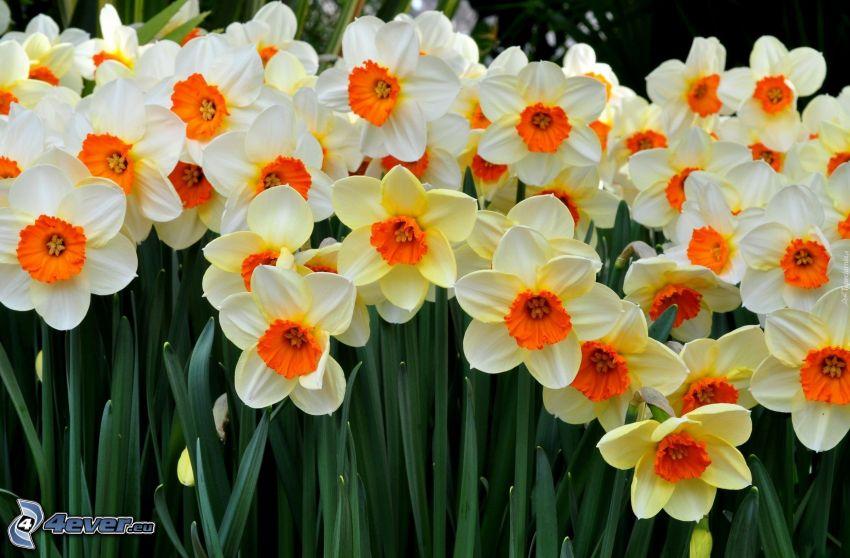 żonkile, żółte kwiaty