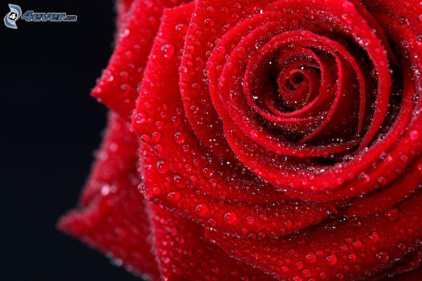 zroszona róża, czerwona róża