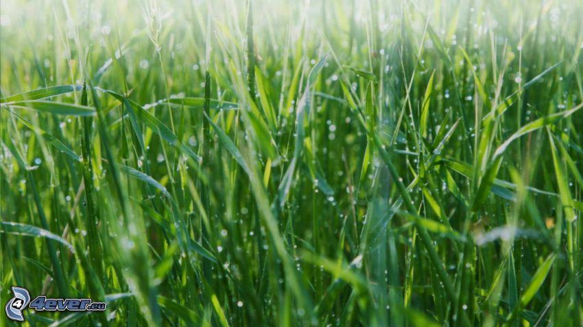 zroszona trawa, źdźbła trawy