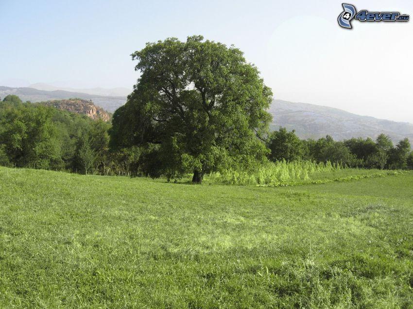 rozgałęzione drzewo, drzewa, łąka, pasmo górskie