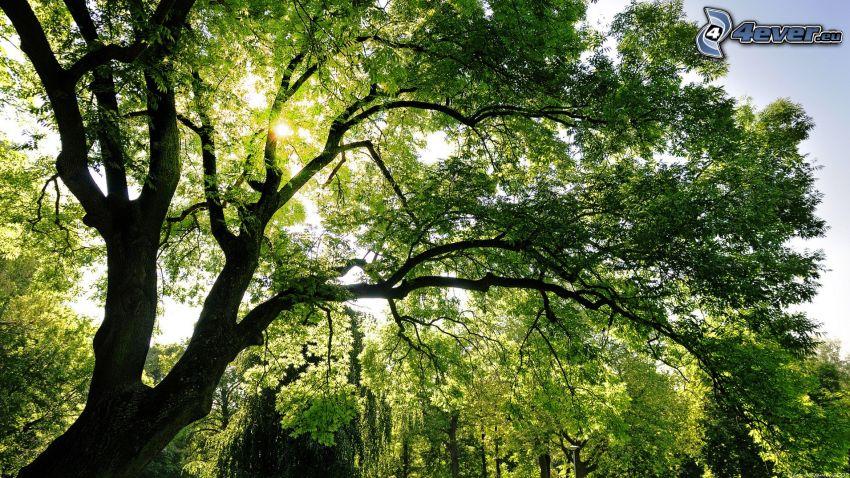 rozgałęzione drzewo, drzewa, słońce