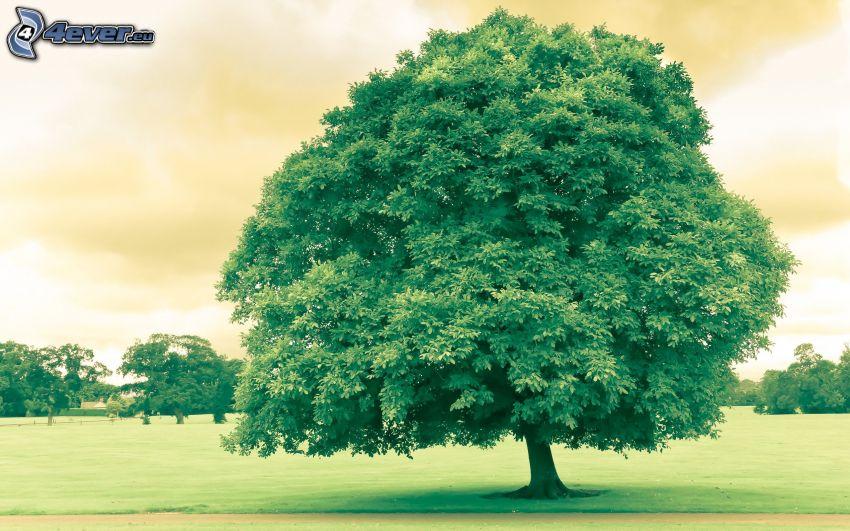 rozgałęzione drzewo, łąka
