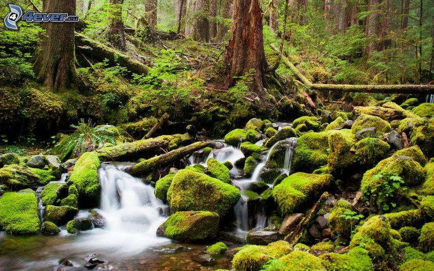 rzeka w lesie, mech, zieleń