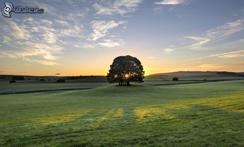 samotne drzewo, łąka, zachód słońca za drzewem
