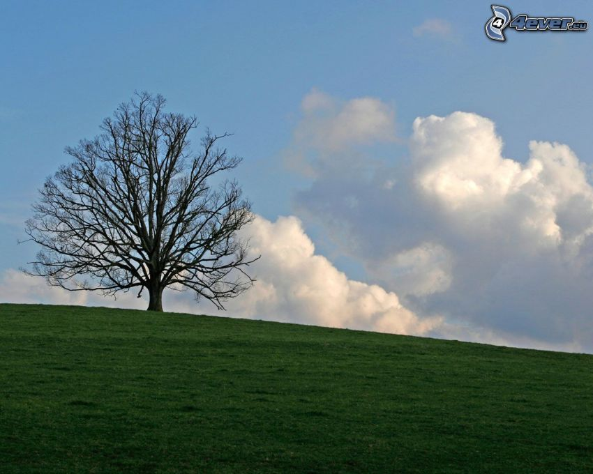 samotne drzewo, łąka