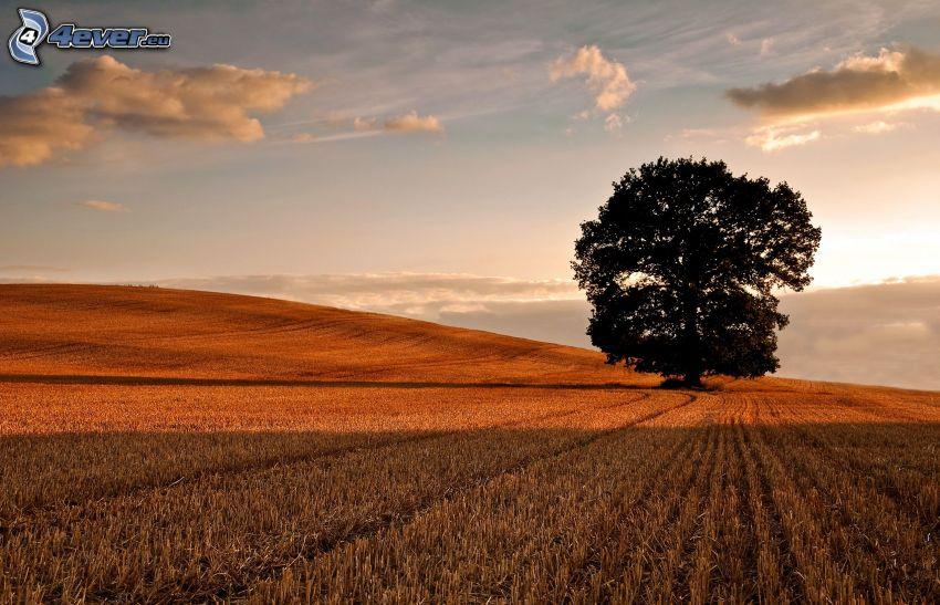 samotne drzewo, pole, chmury