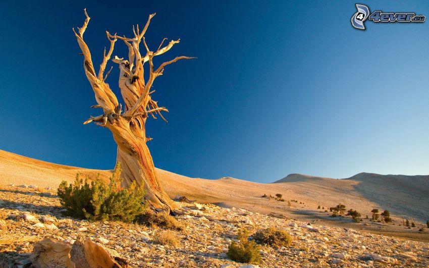 samotne drzewo, pustynia