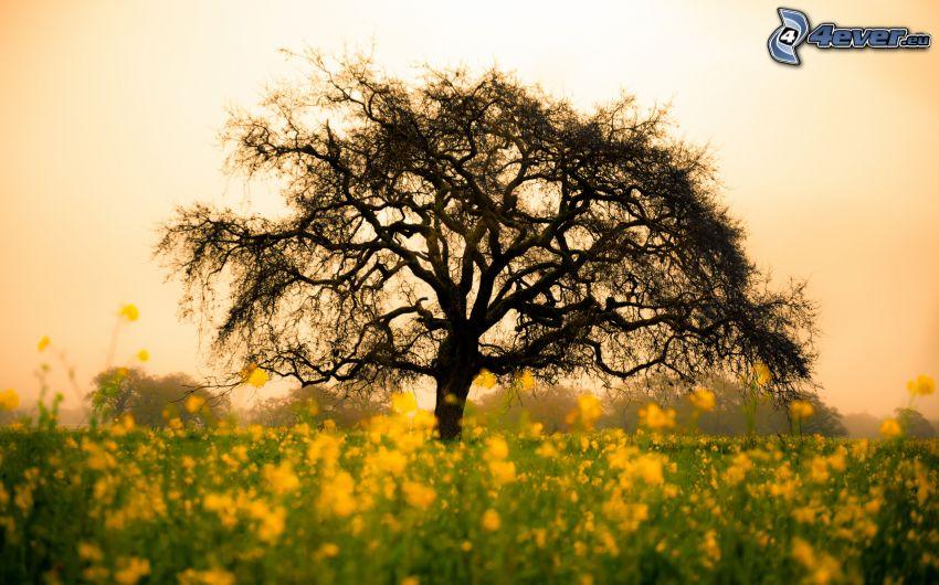 samotne drzewo, suche drzewo, rzepak