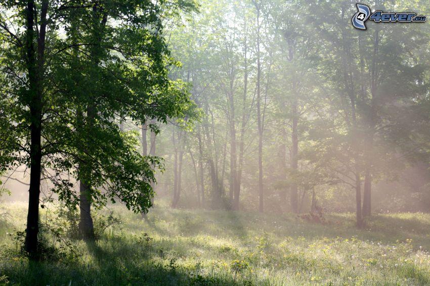słoneczne promienie, w lesie, drzewa