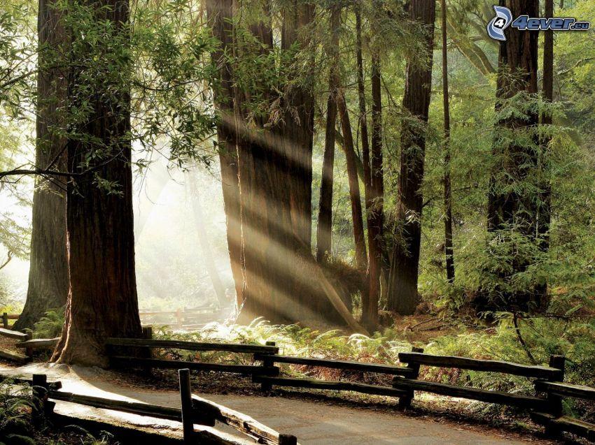 słoneczne promienie, w lesie, ścieżka