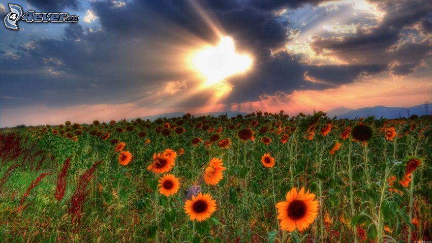 słoneczniki, zachód słońca nad polem, promienie słońca za chmurami
