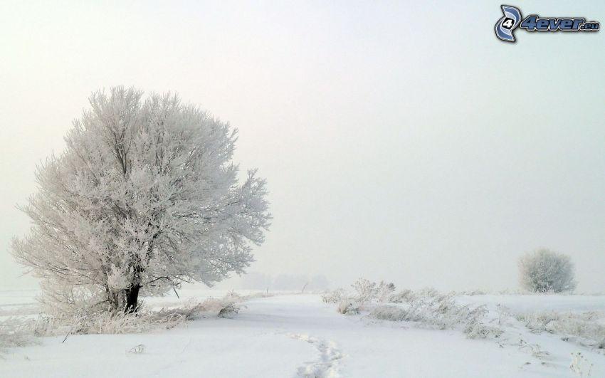 śnieżny krajobraz, zaśnieżone drzewo