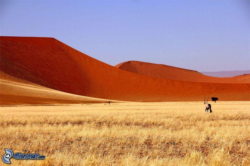 Sossusvlei, piaskowa wydma, oryx