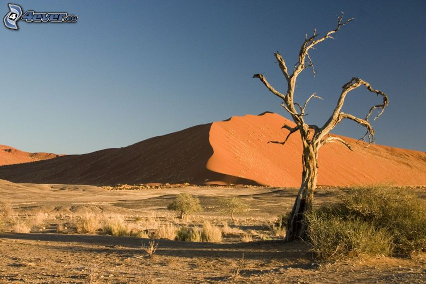 Sossusvlei, suche drzewo, piaskowa wydma