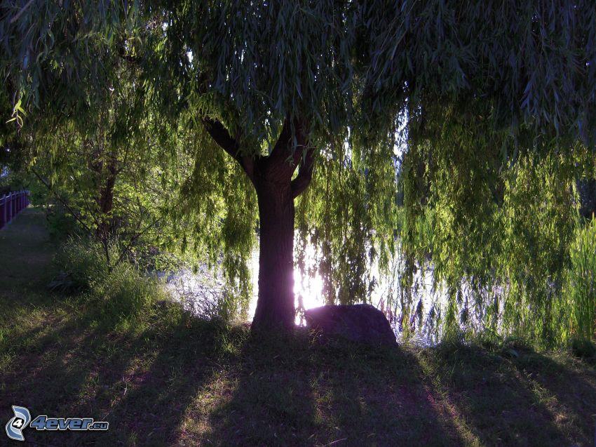 wierzba, jezioro, odbicie słońca