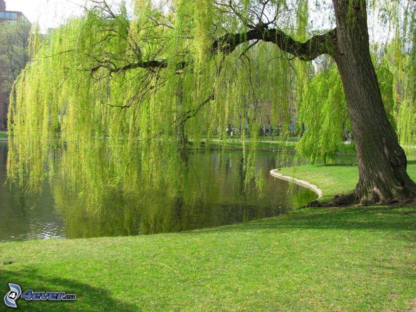 wierzba, jezioro, trawnik