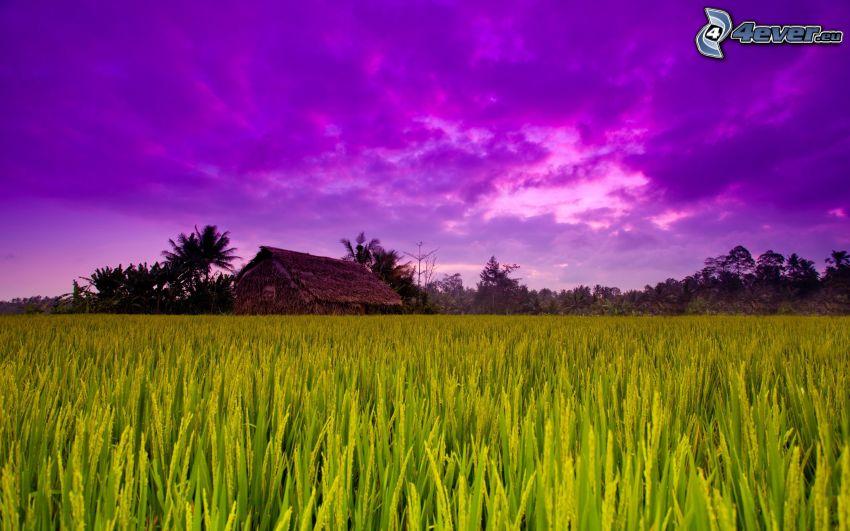 wietnamskie pola ryżowe, domek, fioletowe niebo
