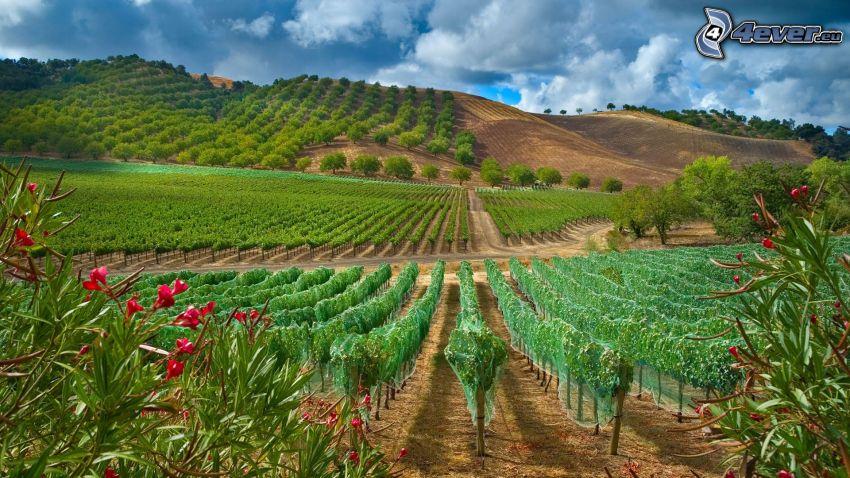 winnica, czerwone kwiaty, wzgórza