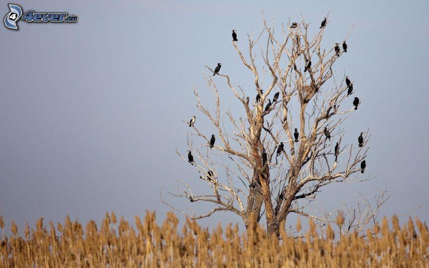 wyschnięte drzewa, stado wron, pole
