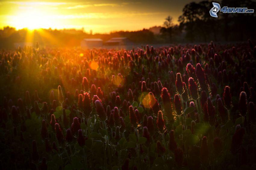 zachód słońca, różowe kwiaty