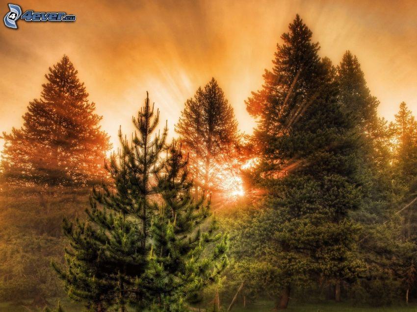 zachód słońca w lesie, słoneczne promienie, w lesie, drzewa iglaste