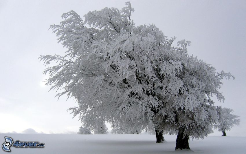 zamarznięte drzewo