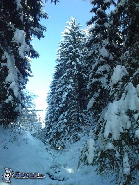 zaśnieżony las