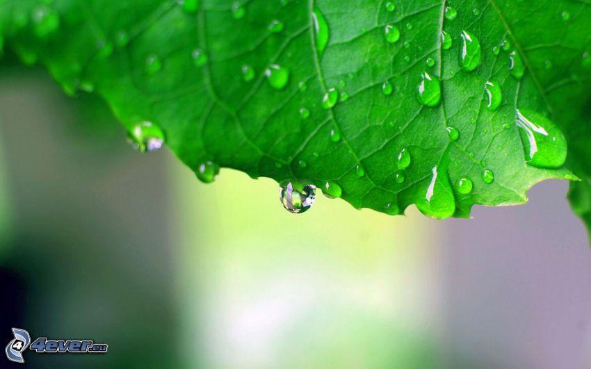 zielony liść, krople wody