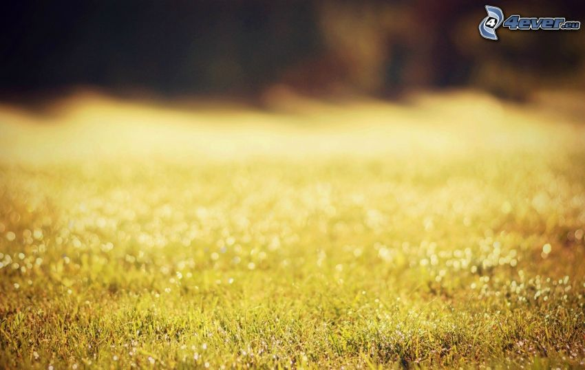 żółta trawa