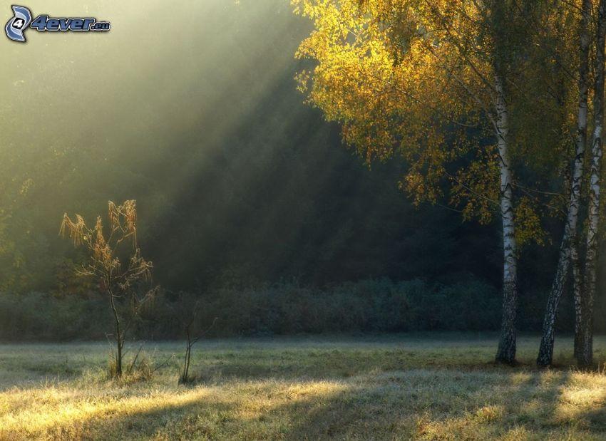 żółte drzewa, brzozy, promienie słoneczne