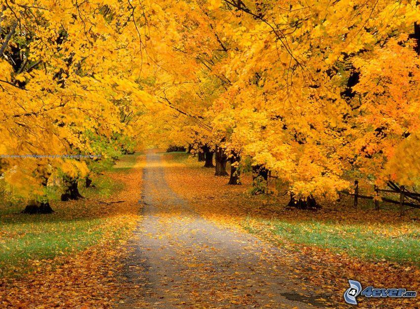 żółte drzewa, chodnik