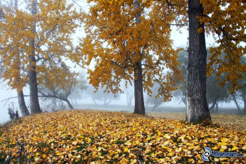 żółte drzewa, opadnięte liście, mgła