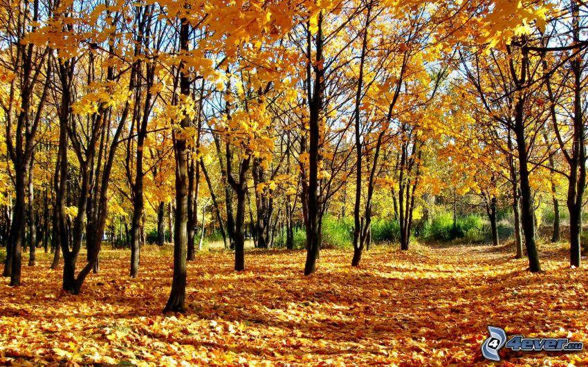 żółte drzewa, opadnięte liście