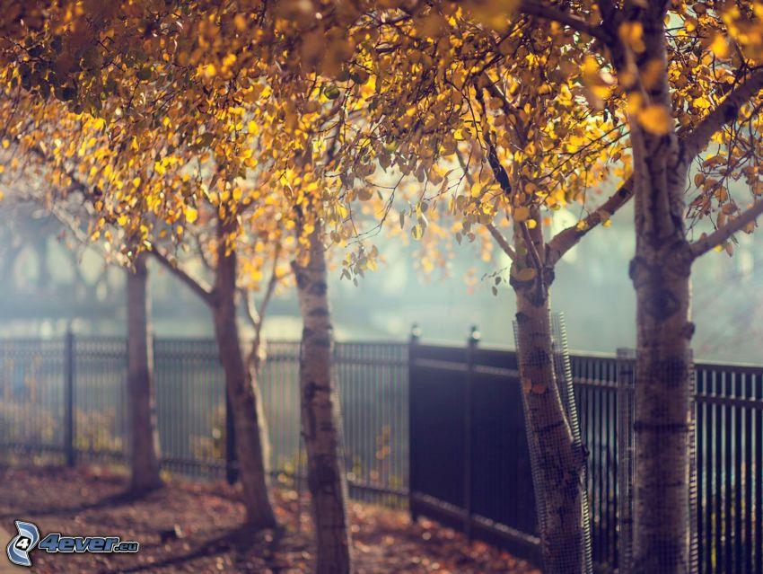 żółte drzewa, płot