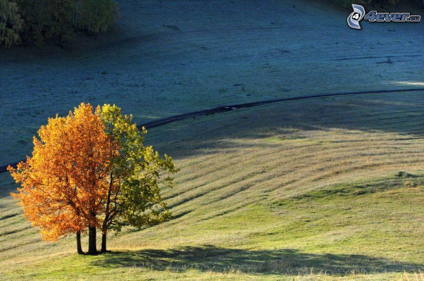 żółte drzewo, samotne drzewo