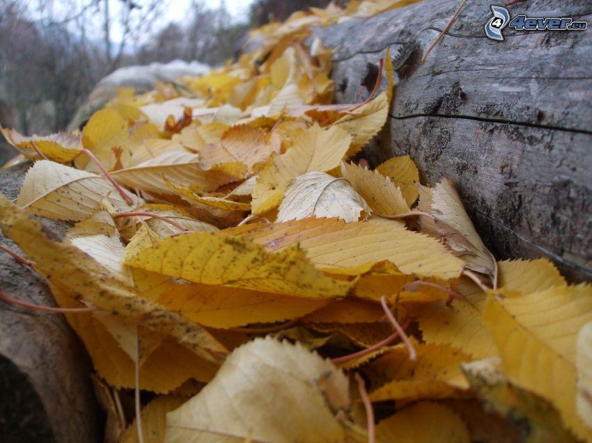 żółte liście, drewno