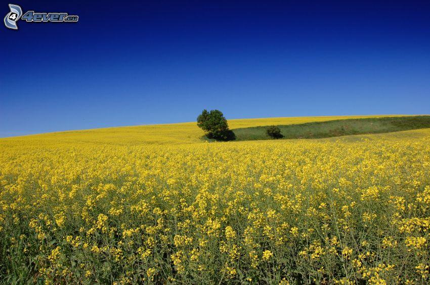 żółte pole, rzepak, samotne drzewo