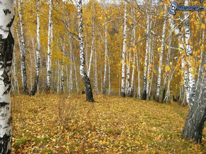 żółty jesienny las, brzozy, opadnięte liście