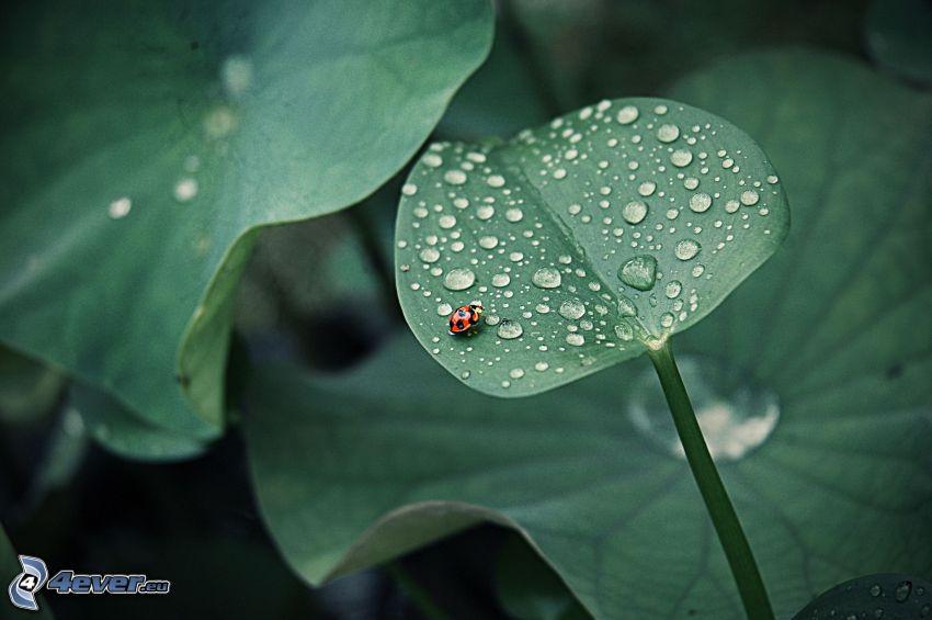 zroszone liście, biedronka na liściu
