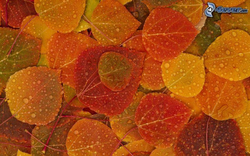 zroszone liście, kolorowe liście, krople deszczu