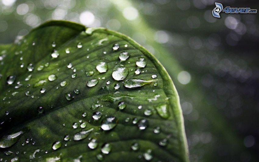 zroszony liść, krople wody, makro