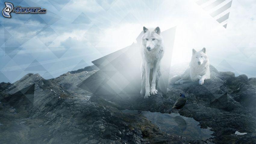 białe wilki, trójkąty, skały